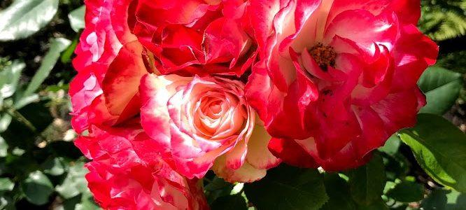 2019.07.12 Rose Garden & Mount St. Helens